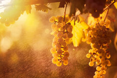 White grape bunch on the vine Stock Photography