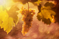 White grape bunch on the vine Royalty Free Stock Photo