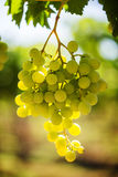 White grape bunch on the vine with warm sunlight Stock Image