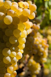 White grape bunches. Bunches of white grapes photographed  in vineyard. Shallow background Royalty Free Stock Images