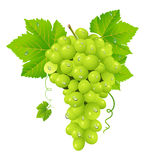 White grape cluster Stock Images
