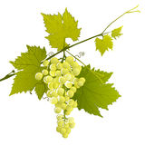 White grape cluster on a leafy branch Royalty Free Stock Photography