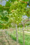 White grape in countryside vineyard for white wine royalty free stock photo
