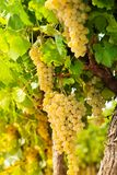 White grape growing in countryside Stock Image