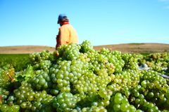 White grape harvest Royalty Free Stock Photography