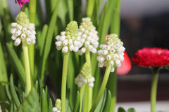 White Grape Hyacinth Royalty Free Stock Images