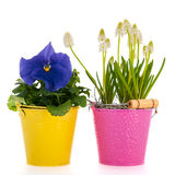 White grape hyacinths and blue Pansy Royalty Free Stock Photo