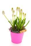 White grape hyacinths Stock Photography