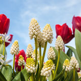 White grape hyacinths with red tulips Royalty Free Stock Photography
