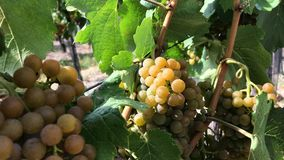 White grape with ripe berries in bunch at vineyard stock footage