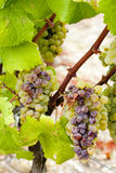 White grape in Sauternes Stock Images