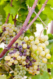 White grape in Sauternes Stock Photography