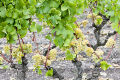 White grape in Sauternes Royalty Free Stock Image
