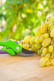 White grape and secateurs on wooden table in wineyard Royalty Free Stock Images