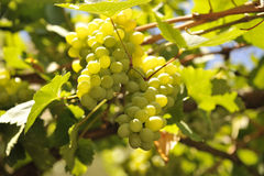White grape. Sweet and tasty white grape bunch on the vine Stock Photography