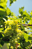 White grape. Sweet and tasty white grape bunch on the vine Stock Images