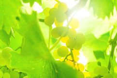 White grape on the vine, back lit. Stock Photography