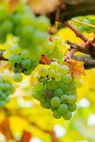 White grape vine hanging on a brunch. Close up in yellow foliage royalty free stock image
