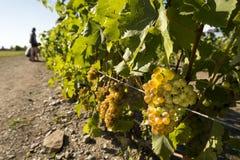 White grape Royalty Free Stock Photography