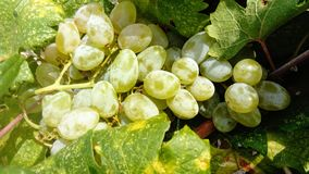 White grape in the vineyard. Fruits like food and medicine Stock Photo