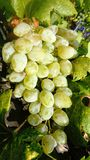 White grape in the vineyard stock photos