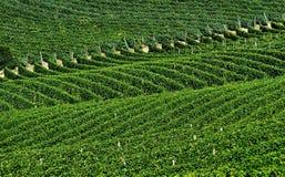 White grape vineyards Stock Photography