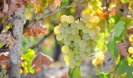White grape in  wineyard Royalty Free Stock Images