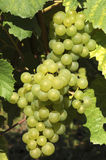 White grapes. Mellow white grapes in the sunshine Royalty Free Stock Images