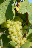 White grapes. Mature white grapes in the sunshine Royalty Free Stock Image