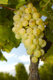 White grapes. Bunches of white grapes ripening on a vine in Switzerland. Taken from a low viewpoint. More vines can be seen, out of focus, in the background Royalty Free Stock Photos