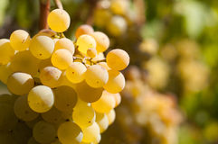White grapes. Photographed in vineyard. Shallow background Stock Image