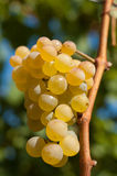 White grapes. In vineyard. Background out of focus Royalty Free Stock Images