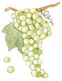 White grapes. Bunch of grapes with small beans Royalty Free Stock Photos