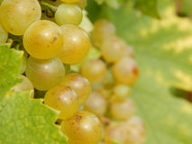 White grapes. A grape is a fruiting berry of the deciduous woody vines of the botanical genus Vitis. Grapes can be eaten raw or they can be used for making wine Stock Photography