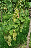 White grapes , baden. White grapes and vine leaves in vineyard, baden Royalty Free Stock Image