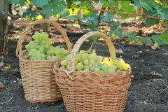 White grapes in a basket royalty free stock images