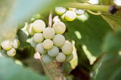 White grapes with blurred leaves Stock Image