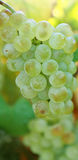 White grapes on the branch close-u Royalty Free Stock Photo