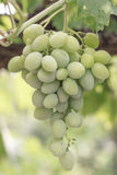 White Grapes. On a brunch, closeup, ripe in white light Stock Image