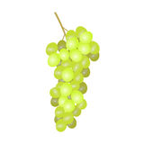 White grapes. A bunch of grapes stock illustration