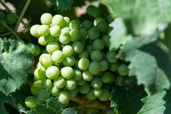 White Grapes Bunch Royalty Free Stock Image