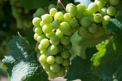 White Grapes Bunch Royalty Free Stock Photography