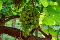 White grapes close up stock photo