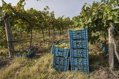 White grapes in crates. Bunches of white grapes in crates, harvesting season stock photography