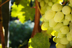 White grapes growing Stock Photo