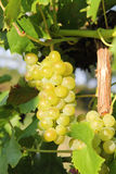 White grapes growing closeup Stock Image