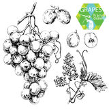 White grapes stock illustration