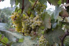 White grapes hanging on a bush in a sunny beautiful day Stock Photos