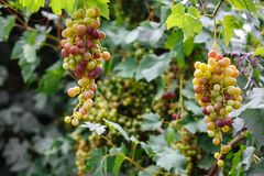 White grapes hanging on a bush in a sunny royalty free stock image