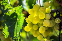 White grapes hanging from green vine with blurred vineyard background Stock Photo
